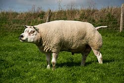 Laine de mouton texel